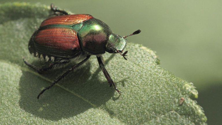 A Japanese beetle on a leaf