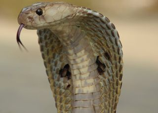 Indian Spectacled Cobra, Naja Naja Family, one of India's venomous snakes.
