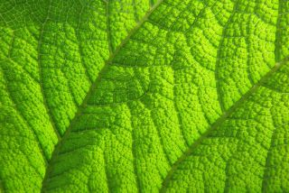 A gunnera plant photographed in close-up by Tracy Calder