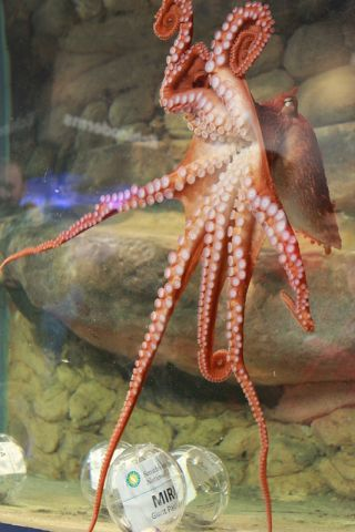 The National Zoo's new Giant Pacific octopus, saying hello to the crowd during its naming ceremony.