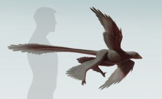 Illustration of the new raptorial dinosaur, Changyuraptor.