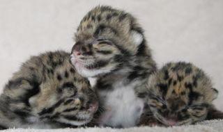 clouded-leopard-cubs-3-110406-02