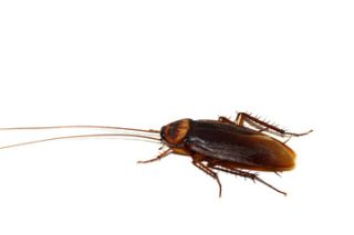 Cockroach cyborg. Researchers have devised an implantable fuel cell that taps into a cockroach's metabolism to generate electrical energy. This is an important step toward creating insect-robot hybrids that can conduct surveillance.