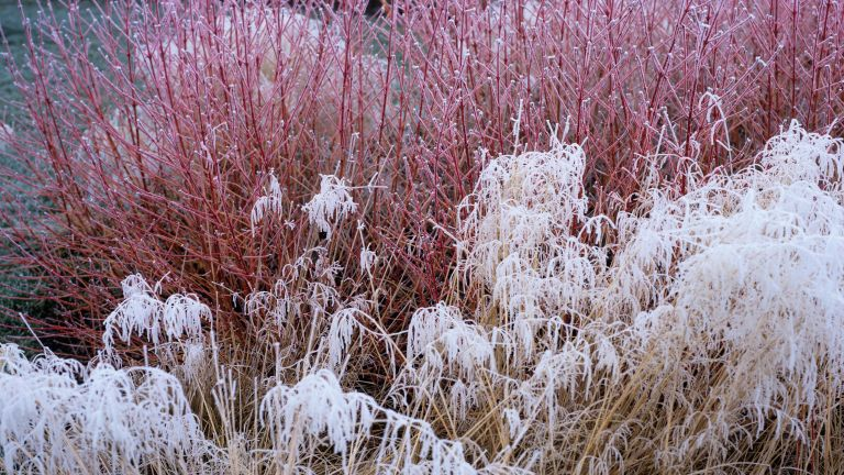 Winter garden winter plants Cornus Midwinter Fire