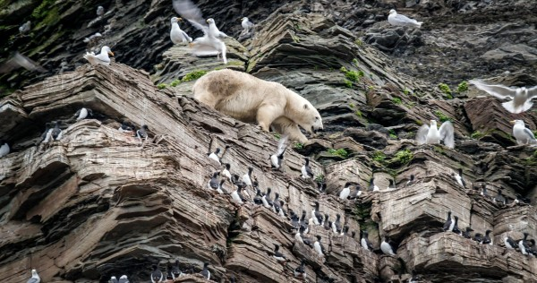 A polar bear on a cliff in The Hunt
