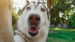 Funniest things caught on pet cams - Husky dog taking a selfie