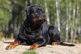 Rottweiler dog outside