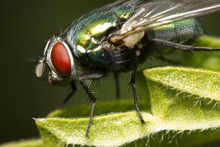 a blowfly closeup