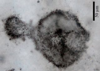 Researchers discovered these fossils of ancient microbes and think it could be cyanobacteria, the organisms that are thought to give our atmosphere the first of its oxygen.