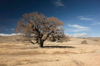 A blue oak tree in California, drought, evaporation