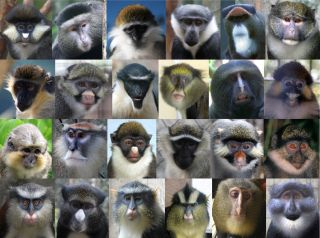 Guenon monkey faces