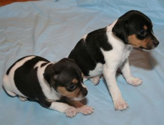 Brazilian terrier puppies.