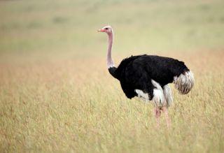 An ostrich in Masai Mara, Kenya.