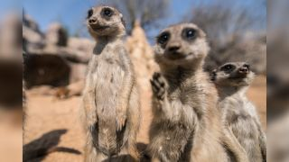 A photo of three zoo meerkats standing in their enclosure in Italy during a nationwide lockdown to control the spread of COVID-19.