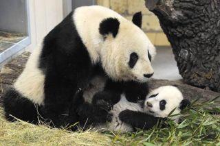 panda-bear-baby-fu-hu-110209-02