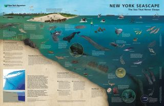 This side of the New York Seascape map shows the amazing diversity of life living near the coast, on the continental shelf and off the shelf break.