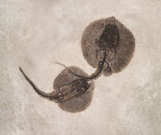 Stingray fossil
