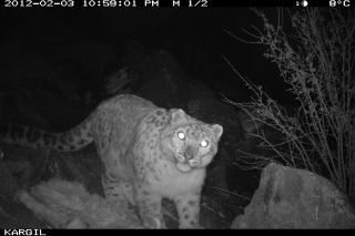 snow leopards in india, snow leopard pictures, snow leopards Kashmir, where snow leopards live, endangered snow leopards, endangered big cats, big cats news, endangered species news, snow leopards photos