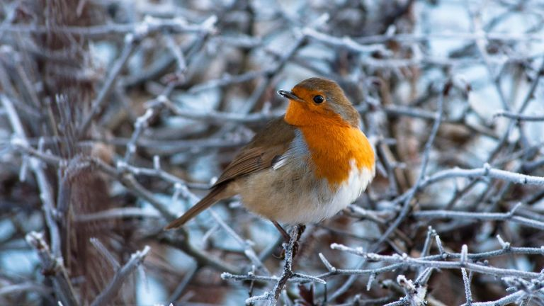 A European Robin on a frosty branch on a cold winter's morning