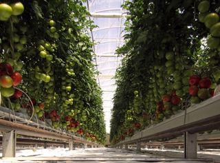 Sundrop tomato Farms, farming