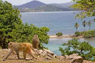A rhesus macaque monkey walks on Cayo Santiago, also called Monkey Island, off the eastern coast of Puerto Rico, Tuesday, July 29, 2008.
