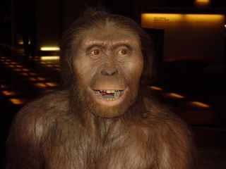 A reconstruction of <em>Australopithecus afarensis</em>, the species to which Lucy belonged.