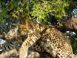 leopard, fun facts, kruger park
