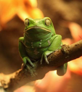 A waxy monkey tree frog sitting on a branch.