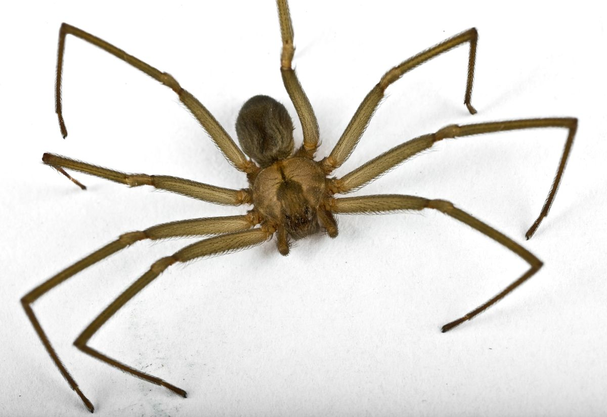 Brown Recluse Spider Bites Pain Peaks After 24 Hours Live Science
