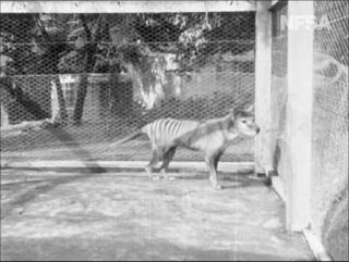 A screenshot of the newly unearthed thylacine footage.