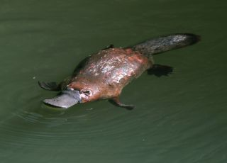australian duck billed platypus in rainforest creek