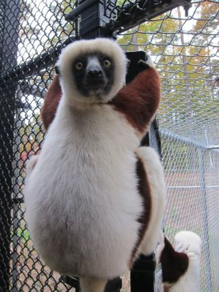 Sifaka lemur at Duke