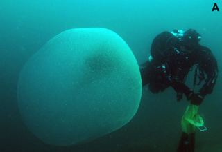 A photo of one of the enormous, gelatinous blobs sighted near Norway.