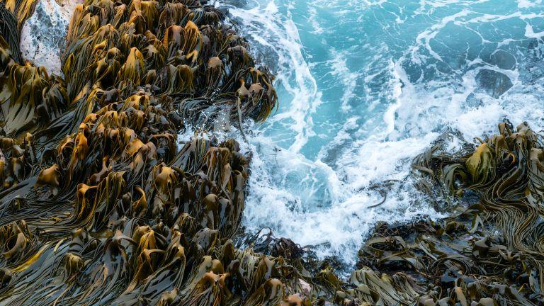 Bull kelp against sea waves, Curio Bay, New Zealand