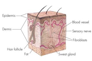 cross-section showing layers of skin