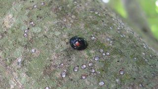 gloomy scales, beetle