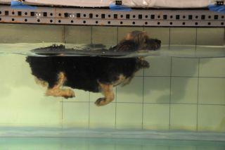 Yorkie doggie paddling
