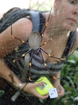 Golden orb weaving spiders, arachnids