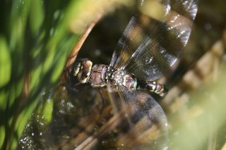 The female dragonfly crashes to the ground and plays dead to avoid unwelcome advances.