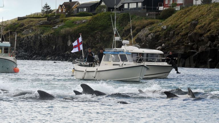 Over 1400 of Faroe Islands' dolphins were killed in a mass hunting spree on Sunday