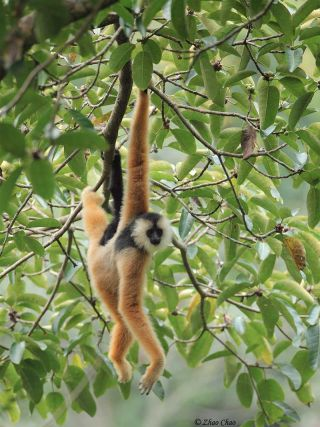 A baby gibbon learns the art of tree swinging.