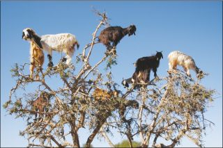 Goats graze from an argan tree in southwestern Morocco. Ten to 20 goats at a time may scamper up trees as tall as 33 feet (10 meters).