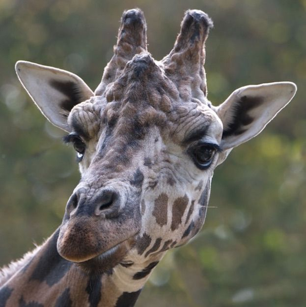 Giraffes Caught Humming in the Midnight Hour | Live Science
