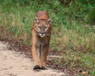 florida-panther-100924-02
