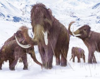 The last woolly mammoths on Earth were a sickly bunch.