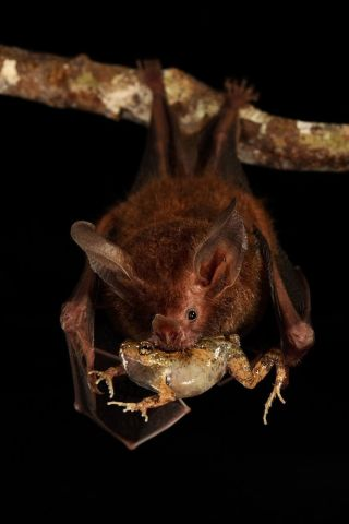 bat eating a frog