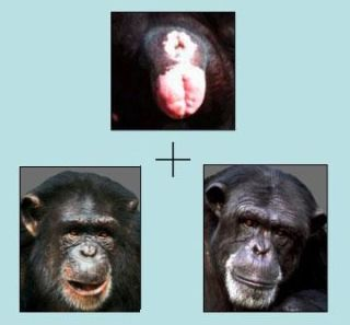Researchers tested chimps' ability to pair chimp rears with the correct chimp faces.