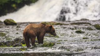 A young brown bear fishing for salmon in the Tongass National Forest's Freshwater Bay creek.