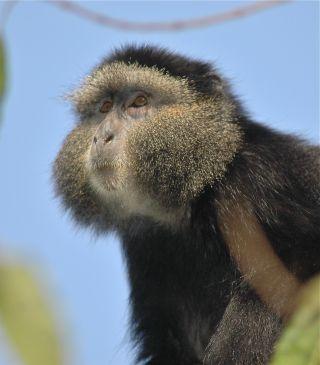 Blue Monkey Female