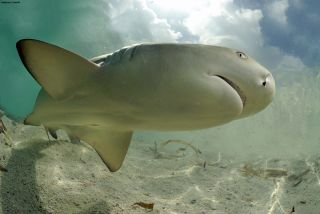 A lemon shark, up close